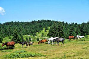 Pferde in bester Gesundheit auf einer Weide