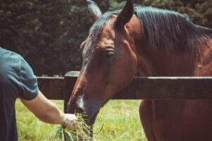 Pferd wird gefüttert: Gesundheit steht im Fokus